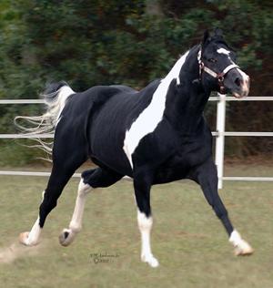 Black Rock Star- PHA Black Tobiano Stallion